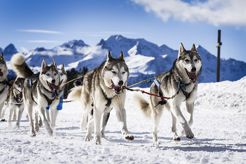 alpes-chiens-traineau