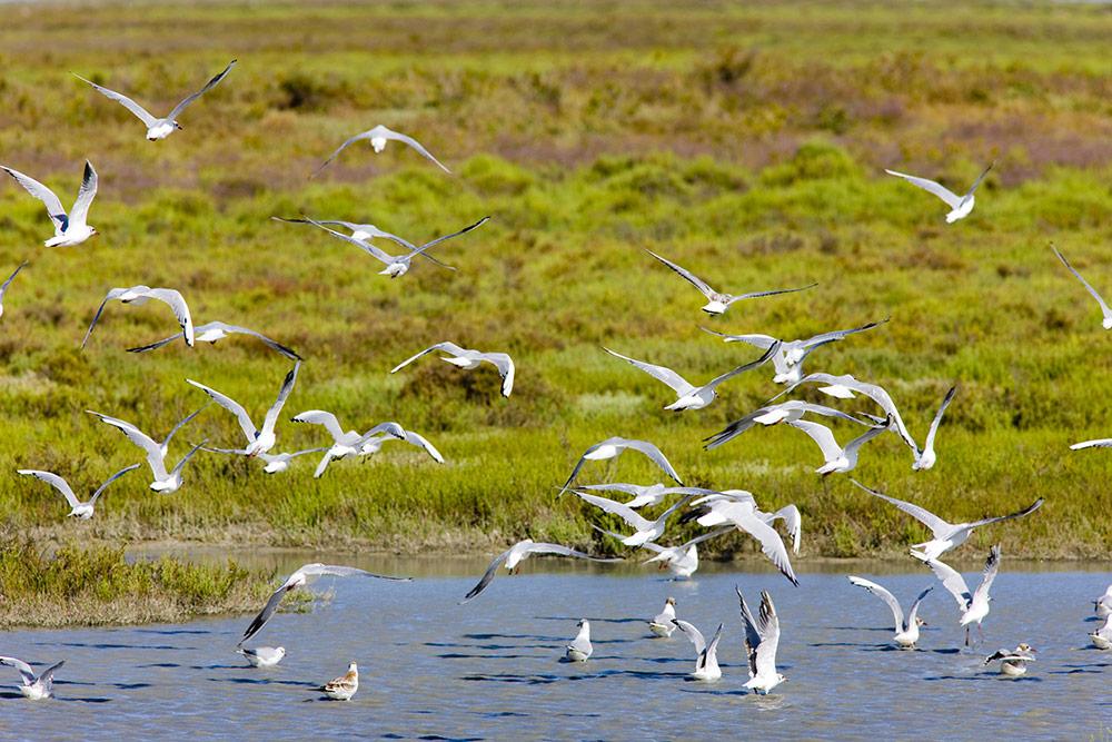 Oiseaux migrateurs en Camargue